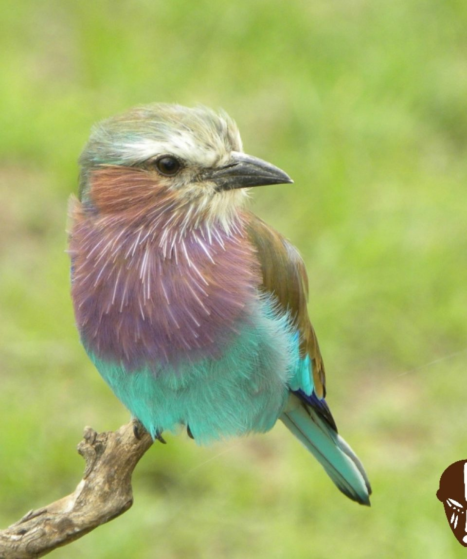 Beads_Safaris_Collection_Lilac_Breasted_Roller