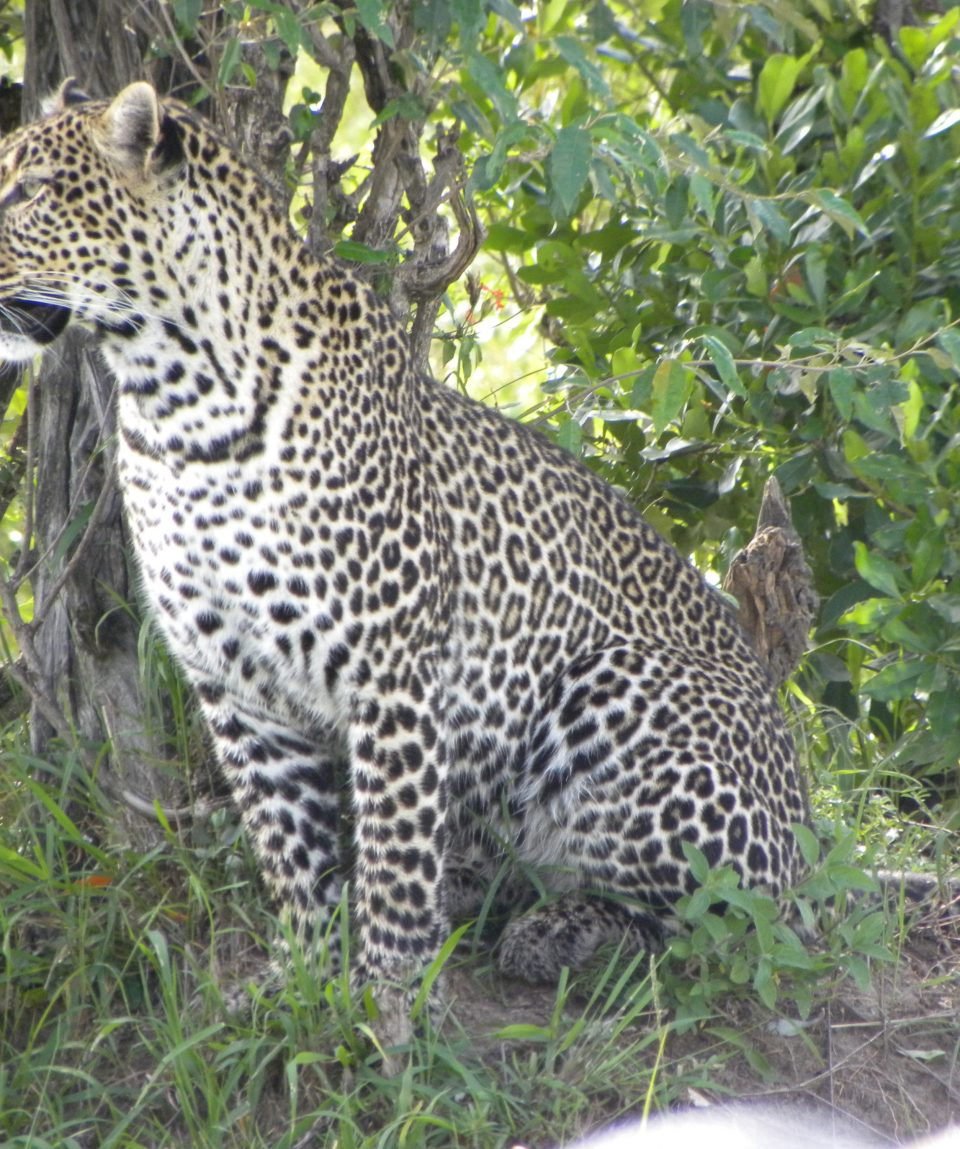 Beads_Safaris_Collection_Leopard_Mara