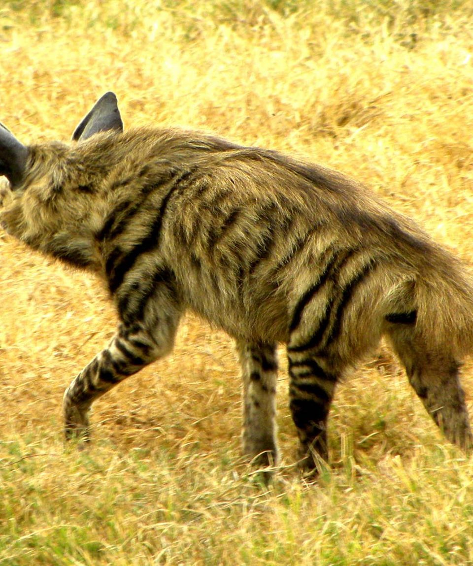 Lake_Nakuru_Stripped_Hyena_5 1920 1280