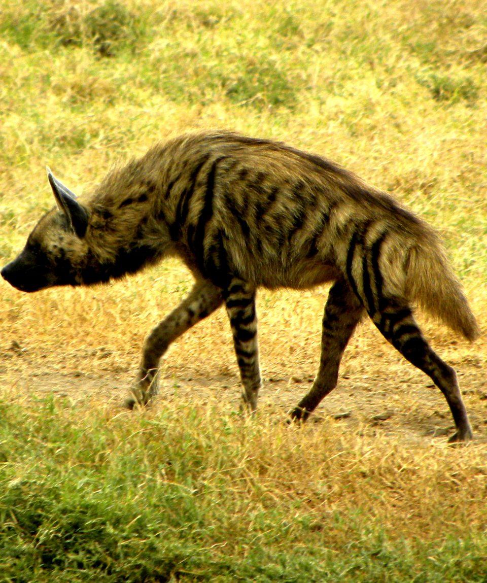 Beads_Safaris_Collection_Lake_Nakuru_Stripped_Hyena_6