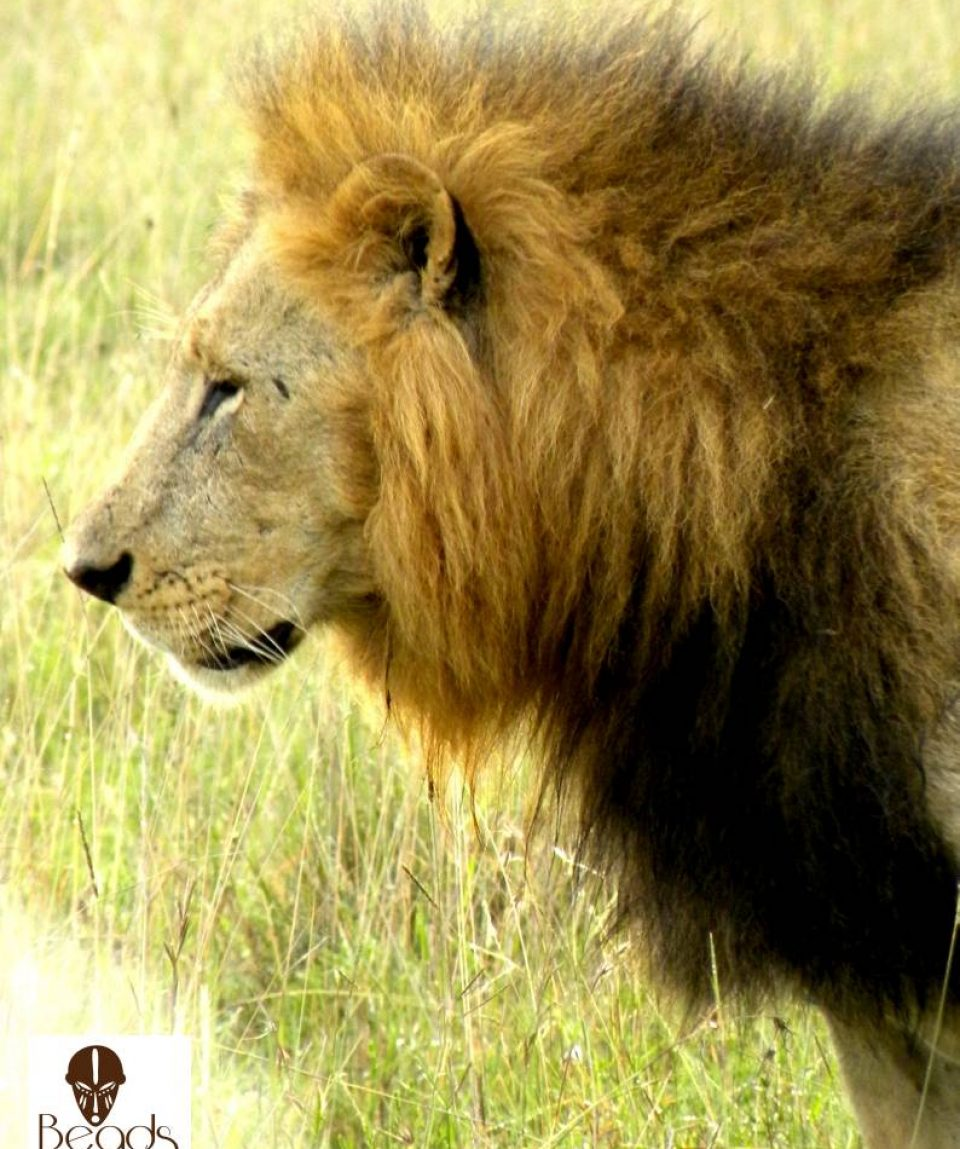 Nairobi_National_Park_Male_Lion_Beads_Safaris